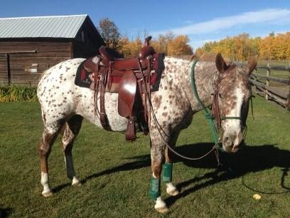 LazyM Saddles - Show or Trail saddle